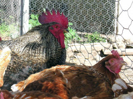 Keeping and raising chickens for meat and eggs can be a lot of fun and an interesting hobby.