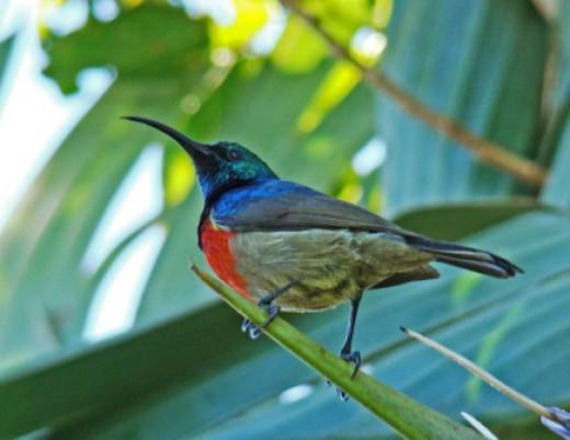 A Double -collared Sunbird visiting a Strelitzia