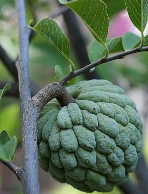 Sugar apple, Sweetsop (Annona squamosa)