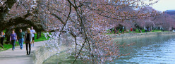 Cherry Blossoms in DC: A Casualty of Climate Change?