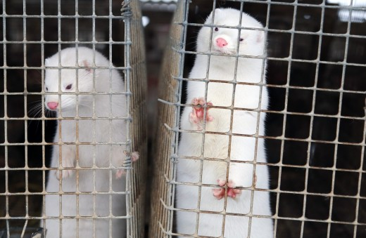 White minks in cages awaiting the inevitable.