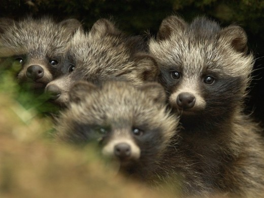 Raccoon Dog pups