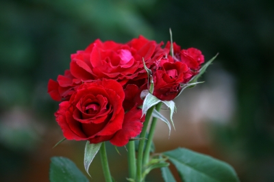 fresh roses may be dipped in 24 ct gold .