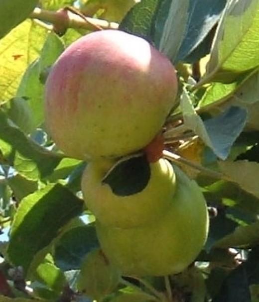 Apples growing in Tenerife north