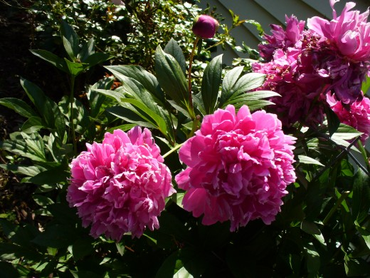 Peony Flowers - Usually Bloom on Mother's Day, almost on the very day.  These bright pink are my favorites!