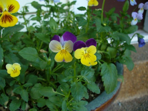 Pansies are a great flower to grow in cool seasons or climates.  Here, they are growing happily in a pot on the front porch.