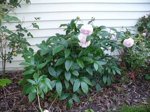 Light pink colored peonies growing in the shade.  These often need staking.   They are great for cutting and bringing indoors though too.