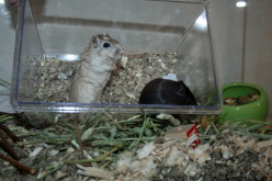 How to clean out gerbils