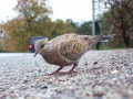 The Turtle Doves and Their Near Extinction