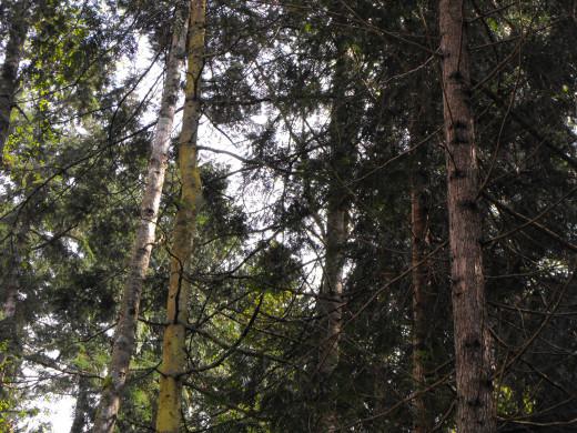 Will you replant a cedar or a fir?