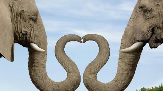 Heart Shaped Elephant Noses