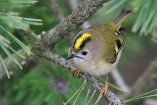 The European Goldcrest is very similar to its American cousin
