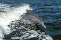 A Bottlenose Dolphin breaches as it joyfully cavorts in a boat's bowwave.