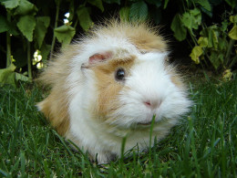 Guinea pigs are sweet and lovable pets.