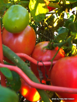 When growing tomatoes from seed, it is important to lable seeds right put of the packet.