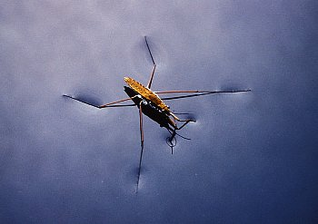 Water striders normally stay at the surface of water, because of surface tension. (source: corbisimage.com)