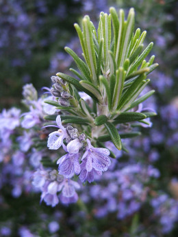 Rosemary … for remembrance