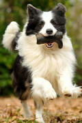 How Dogs Learn Words, and How Many Words Can Dogs Learn?