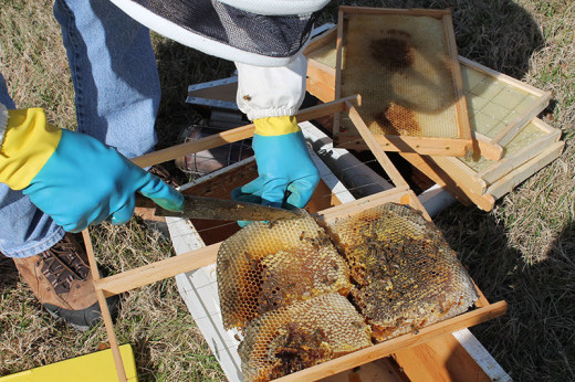 Chunks of the comb are carefully placed into new frame with bees attached.