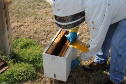 Bees are encourage to move in with a brush