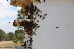 Bees congregate making them easy to sweep into the box.