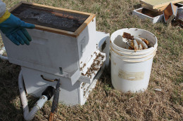 With the bulk of the bees moved with the honey combs they produce a scent for others to follow.