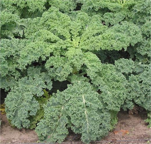 Fully Grown Organic Kale