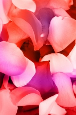soft, fragrant petals are delicate to the touch and yield a delicate scented floral water.