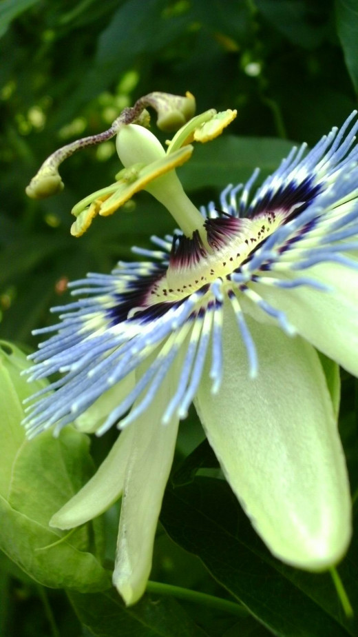 Close up of the odd structure of a passion flower
