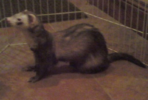 This is the reference photo I used of my ferret Captain.  I apologize for the poor quality of my phone camera.