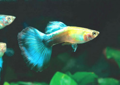How hard is it to keep guppies alive when you have zero experience with keeping fish?