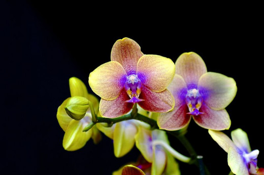 Orchids in the Chinese Jue Ju form of poetry