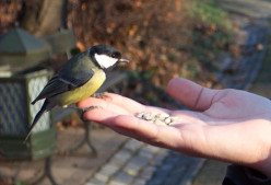 Facts and Information on the Great Tit