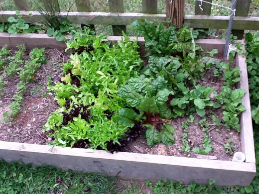 The lettuce is in the middle, between the waxy Swiss Chard leaves and carrots sprouts