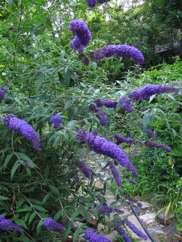 Leafy with robust flower spikes, this is what a butterfly bush should look like.