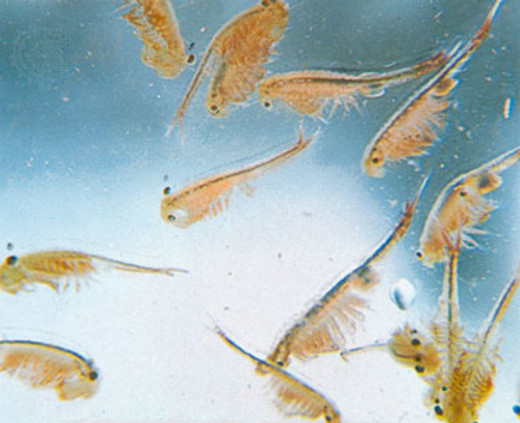 In this photo you can see a close up of brine shrimp also known as sea monkeys.