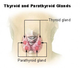 Showing the thyroid and parathryoid glands and their position in the body.