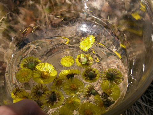 Creating Coltsfoot Flower Essence