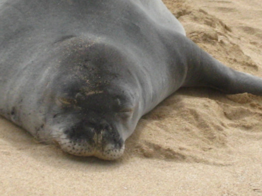 Hawaiian Monk Seal resting in the sand - protected mammals that beachcombers give a wide birth to when observing.