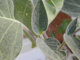 Spider mites and webs on Moonflower plant