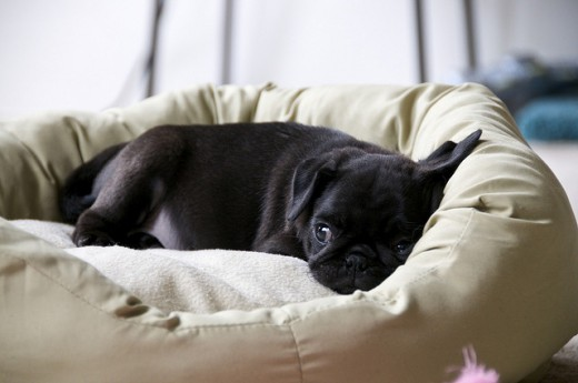 Sweet little black Pug puppy.