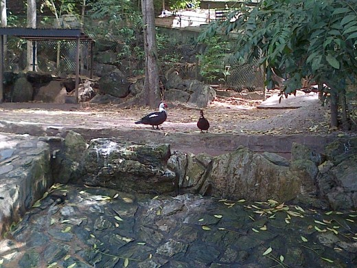 Ducks @ the Emperor Valley Zoo Trinidad W.I.