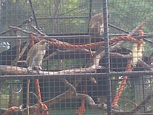 Monkeys @ Emperor Valley Zoo Trinidad