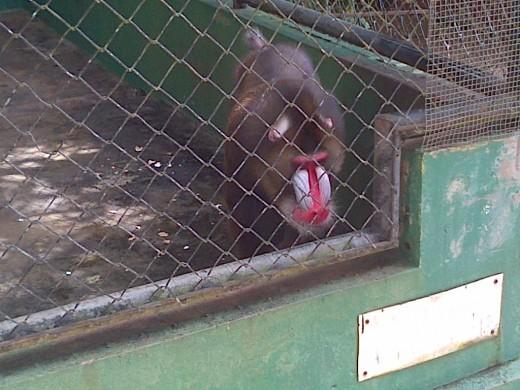 """""""Pink buttom Monkey"""" @ Emperor Valley Zoo Trinidad"""