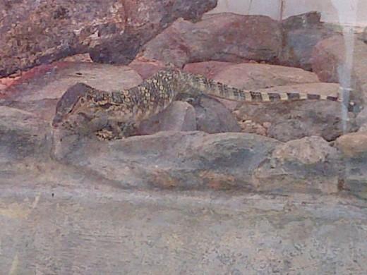 Lizard @ Emperor Valley Zoo