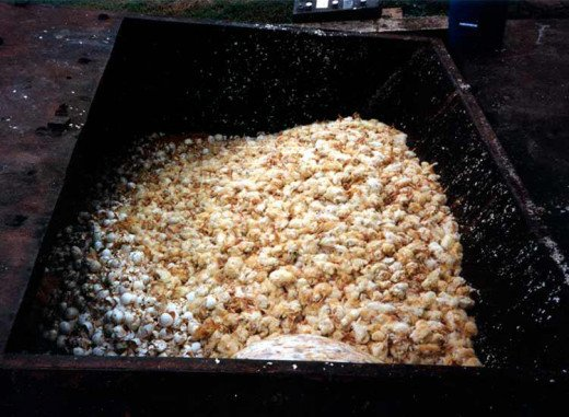 Male chicks are thrown into a dumpster if the grinder is busy, awaiting the heavy feet of workers who stomp on them to make room for the next heap.