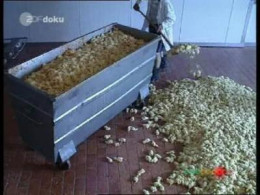 Male chicks hold no economic value, therefore, have no life value to the egg industry.