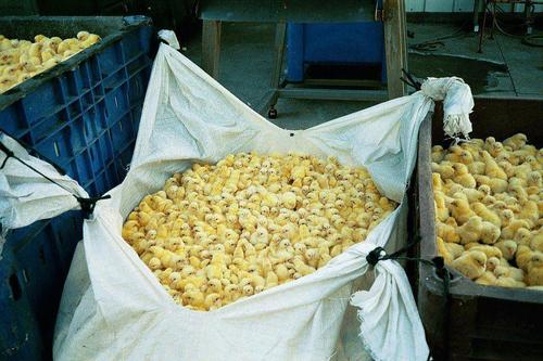 Thousands of baby male chicks awaiting their final fate, most still alive, struggling to breathe.
