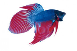 An image of a blue and red male betta.
