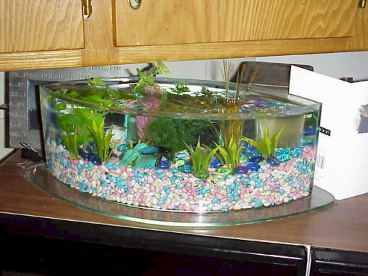 A betta in a clean tank. Well, this tank is just a little to fancy.
